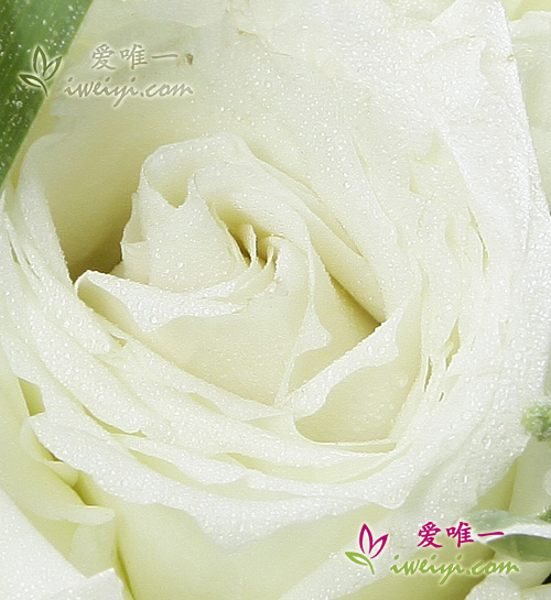 send a vase of white roses to China