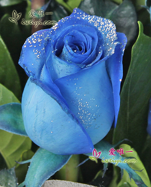 send a bouquet of 11 blue roses to China